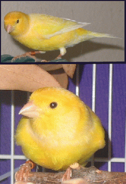 Finch/Canary