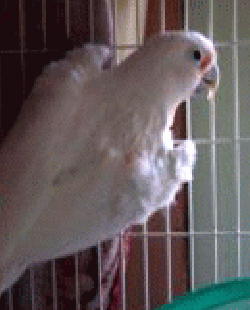 Cockatoo