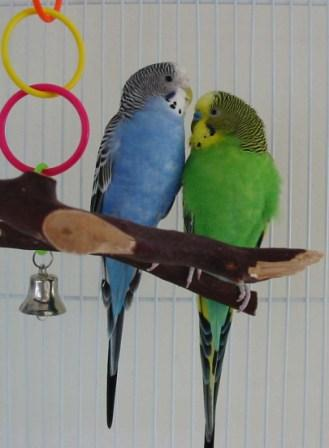 Topper_and_Willow_Parakeets